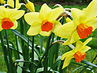 800px-03270001_Welsh_Daffodils